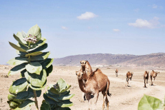 hawana-salalah-dohfar-oman-camels-attractions-and-excursions